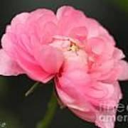 Pink Ranunculus Poster