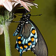 Pipevine Swallowtail Butterfly Poster