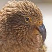 Portrait Of Nz Alpine Parrot Kea Nestor Notabilis Poster