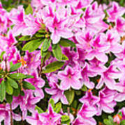 Pretty In Pink - Spring Flowers In Bloom. Poster