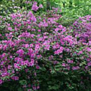 Purple Azaleas Poster
