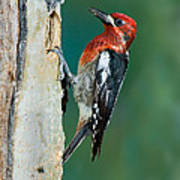 Red-breasted Sapsucker Poster
