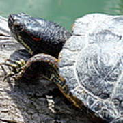 Red Eared Slider Poster by Irfan Gillani