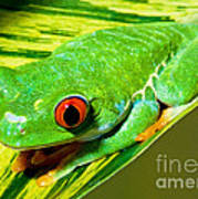Red Eye Tree Frog Poster