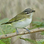 Red-eyed Vireo Poster