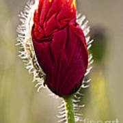 Red Poppy Bud Poster