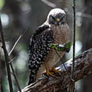 Red - Shouldered Hawk II Poster