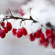 Red Winter Berries Under Snow Poster