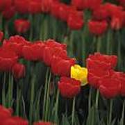 Rows Of Red Tulips With One Yellow Tulip Poster