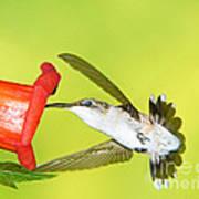 Ruby Throated Hummingbird Female Poster