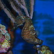 Seahorse And Coral Poster