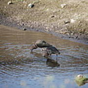 Shorebirds Poster