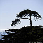 Silhouette Of Monterey Cypress Tree Poster