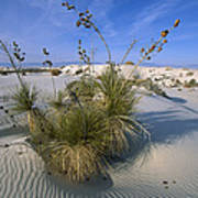 Soaptree Yucca In Gypsum Dunes White Poster