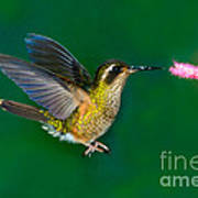Speckled Hummingbird Poster