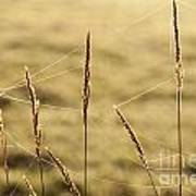 Spider Webs In Field On Tall Grass Poster