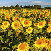 Sunflowers At Dawn Poster
