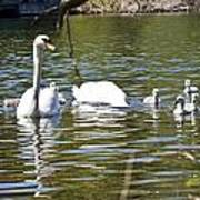 Swan With Signets Poster