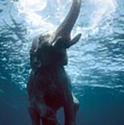 Swimming Elephant Poster