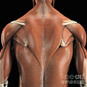 The Muscles Of The Back Poster