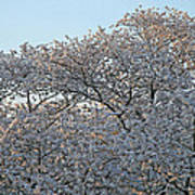 The Simple Elegance Of Cherry Blossom Trees Poster