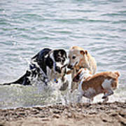 Three Dogs Playing On Beach Poster