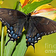 Tiger Swallowtail Butterfly, Dark Phase Poster