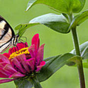 Tiger Swallowtail Butterfly On Zinnia Poster