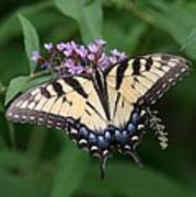Tiger Swallowtail On Butterfly Bush Poster