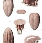 Tongue Anatomy Poster