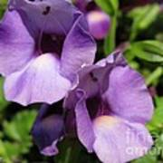 Torenia Named Purple Moon Poster
