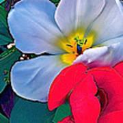 Tulip 5 Poster