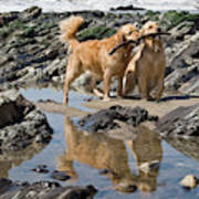 Two Golden Retrievers Playing Poster