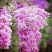 Vintage Lilac Poster