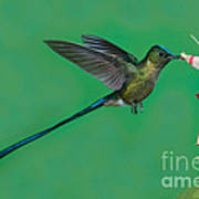 Violet-tailed Sylph Poster