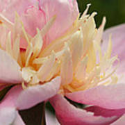 White And Pink Peony Poster