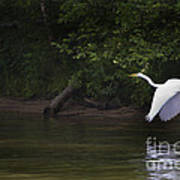 White Egret In Flight Poster