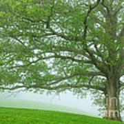 White Oak Tree In Fog Poster