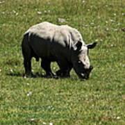 White Rhinoceros Calf  Poster