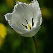 White Tulip On The Green Background Poster