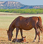 Wild Horses Mother And Foal Poster
