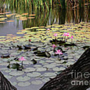 Wild Water Lilies In The River Poster
