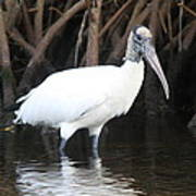 Wood Stork In The Swamp Poster