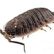 Woodlouse Species Porcellio Wagnerii Poster