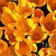 Yellow Crocus Flowers In Sunlight Poster