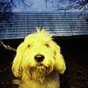 Yellow Dog Poster