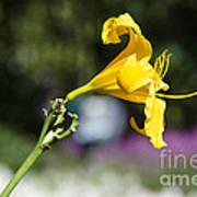 Yellow Hibiscus Poster