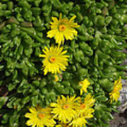 Yellow Ice Plant In Bloom Poster