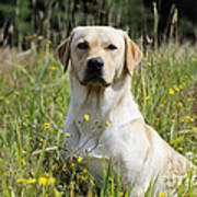Yellow Labrador Retriever Poster
