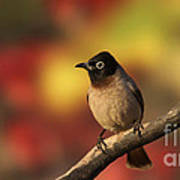 Yellow-vented Bulbul Poster